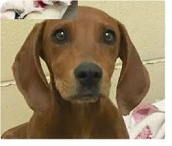 Hound (Unknown Type) Mix Puppy for adoption in Springdale, Arkansas - Noel