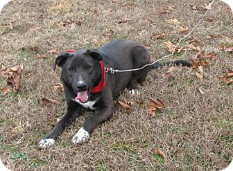 Labrador Retriever Mix Dog for adoption in Providence, Rhode Island - Jhett