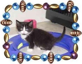 Domestic Mediumhair Kitten for adoption in KANSAS, Missouri - JUNE BUG