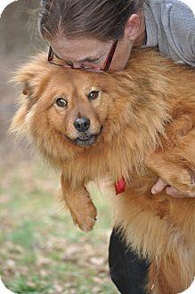 Dog Ready For Adoption Chow Chow Shetland Sheepdog Sheltie Mixed | Dog ...