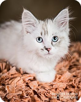 Domestic Longhair Kitten for adoption in Eagan, Minnesota - Tikki