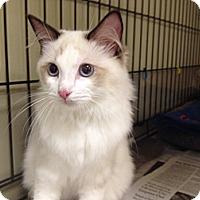 Adopt A Pet :: Beauty - Island Park, NY