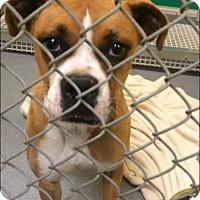 Adopt A Pet :: Darla - Reno, NV