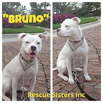 American Bulldog/Boxer Mix Dog for adoption in Boca Raton, Florida - Bruno