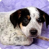 Adopt A Pet :: Pierre Heeler Mix - St. Louis, MO