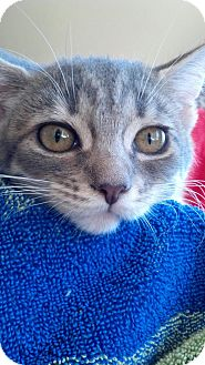 Domestic Shorthair Kitten for adoption in Scottsdale, Arizona - Lola