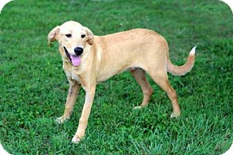 Labrador Retriever Mix Puppy for adoption in Allentown, Pennsylvania - PUPPY ADONIS