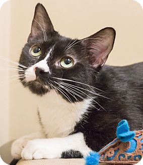 Domestic Shorthair Cat for adoption in Chicago, Illinois - Maudie