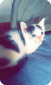 Domestic Shorthair Cat for adoption in San Antonio, Texas - A391309 Moo Moo