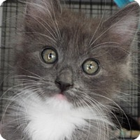 Adopt A Pet :: Maple - Grants Pass, OR