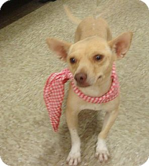 Chihuahua Mix Dog for adoption in Las Vegas, Nevada - Gertie