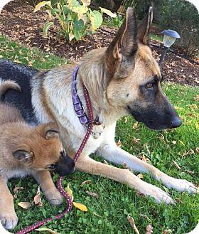 German Shepherd Dog Dog for adoption in Woodinville, Washington - Mona