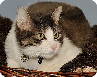 Domestic Shorthair Cat for adoption in Gatineau, Quebec - Leo