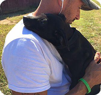 Feist/Labrador Retriever Mix Puppy for adoption in Harmony, Glocester, Rhode Island - Bitsy