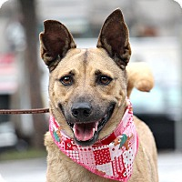 Black Mouth Cur/Terrier (Unknown Type, Medium) Mix Dog for adoption in San Francisco, California - Lena