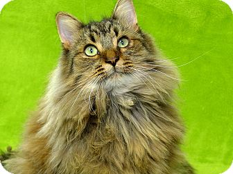 Nuka Adopted Cat Rochester Hills Mi Norwegian Forest Cat
