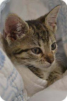 Domestic Shorthair Kitten for adoption in Island Park, New York - Harts & Haide