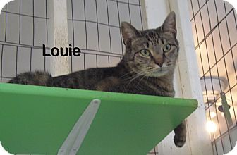Domestic Mediumhair Cat for adoption in Catasauqua, Pennsylvania - Louie