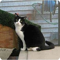 Domestic Shorthair Cat for adoption in Chicago, Illinois - Penguin