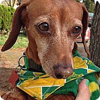 Adopt A Pet :: COPPER PENNY - Portland, OR