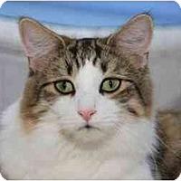 Adopt A Pet :: Blues Clues - Bonita Springs, FL