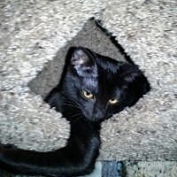Adopt A Pet :: Velvet - Mission Viejo, CA