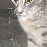 Domestic Shorthair Cat for adoption in Coos Bay, Oregon - Sayo