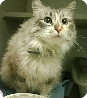 Himalayan Cat for adoption in Buffalo, Wyoming - Java