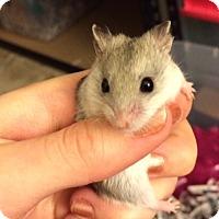 Adopt A Pet :: Wonton, Noodle, Dumpling - Bensalem, PA