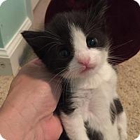 Adopt A Pet :: Mr. Fluffels - Herndon, VA
