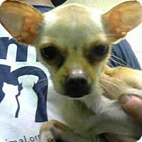 Adopt A Pet :: PACO - Atlanta, GA