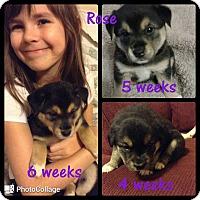 Adopt A Pet :: Rose - St. Charles, MO