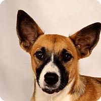 Adopt A Pet :: Lavender CollieShep - St. Louis, MO