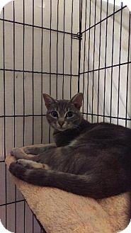 Domestic Shorthair Cat for adoption in Brainardsville, New York - Ivory