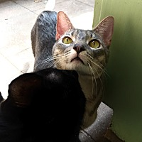 Domestic Shorthair Cat for adoption in Los Angeles, California - Darling