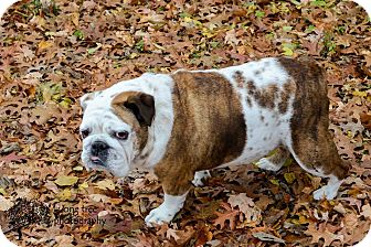 English Bulldog Dog for adoption in Franklin, Indiana - Bella