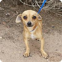 Adopt A Pet :: Friendly LITTLE Femi Chiweenie - Albuquerque, NM