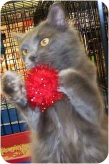 Domestic Mediumhair Cat for adoption in Harrisburg, North Carolina - Europa