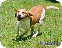 Beagle/Hound (Unknown Type) Mix Dog for adoption in Spring City, Tennessee - Malcolm
