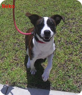boston terrier and beagle mix neko adopted dog 8224 slidell la boston terrier 3399