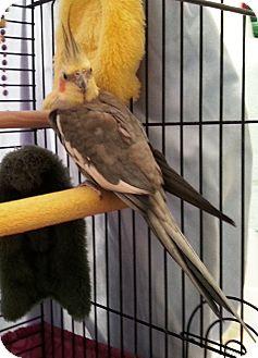 Cockatiel for adoption in Shawnee Mission, Kansas - Ziggy(2)