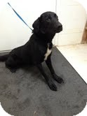 Labrador Retriever Mix Dog for adoption in Lancaster, Virginia - Larry