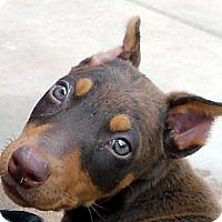 Adopt A Pet :: Baby Antonia - Oakley, CA