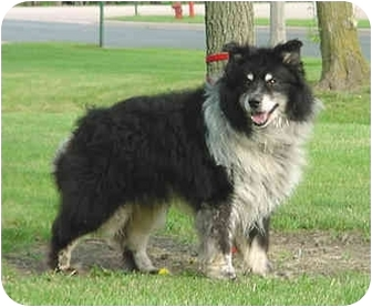 Wyatt | Adopted Dog | Austin, MN | Chow Chow/Border Collie Mix