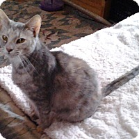 Domestic Shorthair Cat for adoption in Buchanan, Tennessee - Tootsie