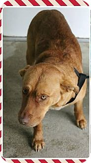Labrador Retriever Mix Dog for adoption in Midlothian, Virginia - Lilly from Duplin