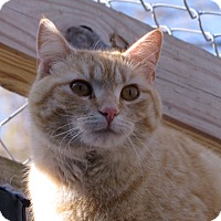 American Shorthair Cat for adoption in Unionville, Pennsylvania - Sammi