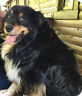 Collie/Sheltie, Shetland Sheepdog Mix Dog for adoption in Sparta, New Jersey - Barkley