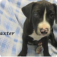 Adopt A Pet :: Baxter - Bartonsville, PA