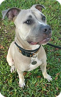 Pit Bull Terrier/Boxer Mix Dog for adoption in Orlando, Florida - Bandit